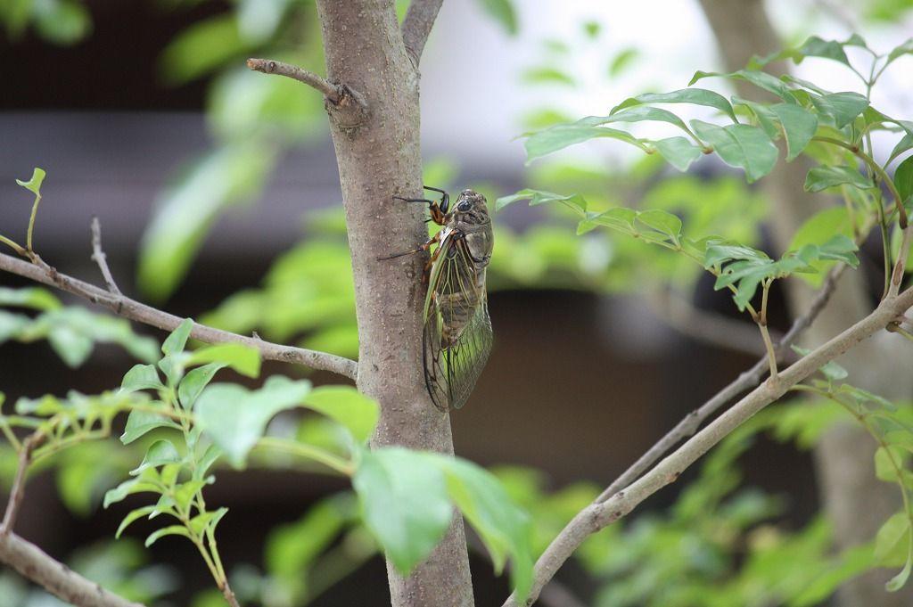 写真は自宅庭の木で鳴いている蝉 はたして福岡で油蝉の鳴き声を聴きながら練習したラフマニノフの音はいかに…